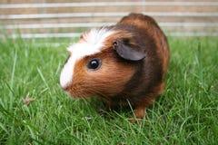 Brown pet gerbil. On grass stock photos
