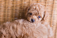 Brown pet puppy,poodle Royalty Free Stock Photos