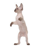 Brown Peterbald cat, Oriental Shorthair Stock Photos