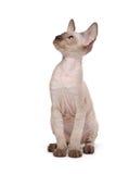 Brown Peterbald cat, Oriental Shorthair Stock Photos