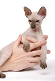 Brown Peterbald cat, Oriental Shorthair Royalty Free Stock Photos