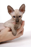 Brown Peterbald cat, Oriental Shorthair Stock Photo