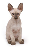 Brown Peterbald cat, Oriental Shorthair Royalty Free Stock Photo