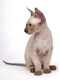 Brown Peterbald cat, Oriental Shorthair Stock Images