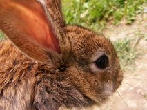 Brown peu de lapin Photos stock