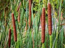 Brown-Pfeilersumpf-Gras Cattail auf der Flussbank stockfotografie