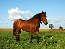 Brown-Pferd Lizenzfreie Stockbilder