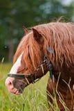 Brown-Pferd Lizenzfreies Stockfoto