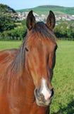 Brown-Pferd Lizenzfreie Stockfotos