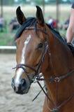 Brown-Pferd. lizenzfreie stockfotografie