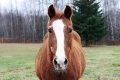 Brown-Pferd Lizenzfreies Stockbild