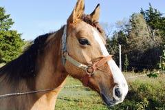 Brown-Pferd auf dem Bauernhof Lizenzfreie Stockbilder