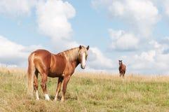 Brown-Pferd auf dem Feld Stockfotografie