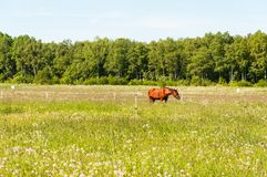 Brown-Pferd auf dem Gebiet Stockfoto