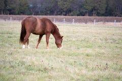 Brown-Pferd auf dem Gebiet Lizenzfreies Stockfoto