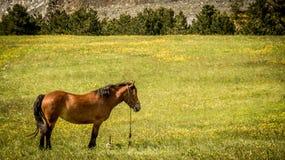 Brown-Pferd auf dem Gebiet in Zlatibor Lizenzfreies Stockbild
