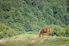 Brown-Pferd auf der Gebirgswiese Lizenzfreies Stockbild