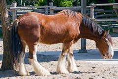 Brown-Pferd auf einem Bauernhof Stockfotografie