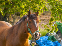 Brown-Pferd auf einem Bauernhof auf Landschaft im Frühjahr Stockbilder