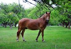 Brown-Pferd auf einem grünen Hintergrund Ein Pferd lässt unter weiden Stockfotos