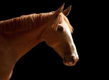 Brown-Pferd auf schwarzem Hintergrund Lizenzfreie Stockfotos