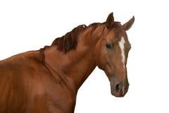 Brown-Pferd auf weißem Hintergrund Lizenzfreies Stockfoto