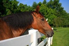Brown-Pferd, das über Zaun in der Weide sich lehnt Lizenzfreie Stockfotos