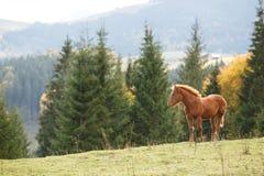 Brown-Pferd, das auf dem Rasen auf einem Hintergrund von Bergen weiden lässt Lizenzfreie Stockfotos