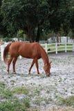 Brown-Pferd, das auf der Ranch isst lizenzfreie stockfotografie