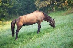 Brown-Pferd, das auf einem Gebiet weiden lässt lizenzfreies stockfoto