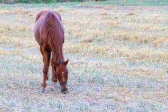 Brown-Pferd, das auf frischem Gras weiden lässt Stockbilder