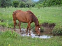 Brown-Pferd, das auf grüner Wiese wässert Stockfotografie