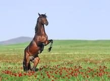 Brown-Pferd, das auf Weide aufzieht Stockbilder