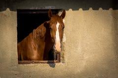 Brown-Pferd, das aus einem Fenster auf Stall heraus schaut stockbild