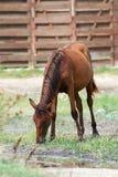 Brown-Pferd, das am Bauernhof weiden lässt Lizenzfreie Stockfotos
