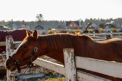 Brown-Pferd, das den Abstand untersucht Lizenzfreie Stockfotos