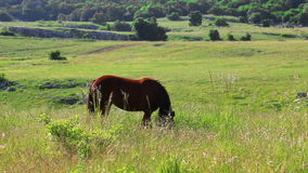 Brown-Pferd, das in der Landschaft weiden lässt stock video footage