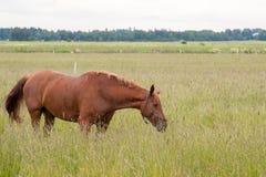 Brown-Pferd, das draußen einzieht Stockfotografie