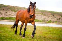 Brown-Pferd, das in ein grünes Tal nahe dem Fluss geht Stockbild