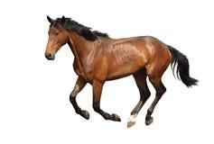 Brown-Pferd, das frei lokalisiert auf Weiß langsam galoppiert Lizenzfreies Stockfoto