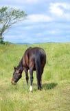 Brown-Pferd, das Gras auf dem Feld isst Lizenzfreies Stockbild