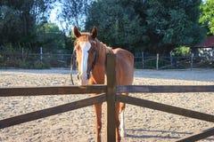 Brown-Pferd, das heraus vom manege schaut stockbilder
