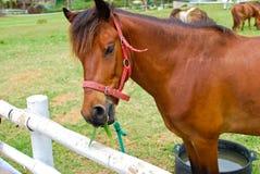 Brown-Pferd, das im Bauernhof isst und weiden lässt lizenzfreies stockbild