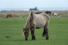 Brown-Pferd, das in Island weiden lässt stockbild