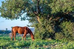 Brown-Pferd, das nahe einem großen Baum auf dem Gebiet anstarrt Lizenzfreie Stockfotografie