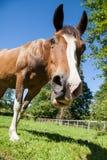 Brown-Pferd in der Koppel, die unten Kamera betrachtet Lizenzfreie Stockfotos
