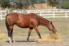 Brown-Pferd essen Heu lizenzfreie stockfotos