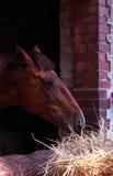 Brown-Pferd im Fenster stockbild
