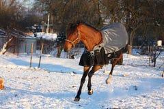 Brown-Pferd im Mantelbetrieb Lizenzfreie Stockfotos