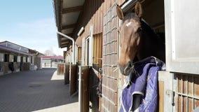 Brown-Pferd im Scheunenkasten, der heraus seins Haupt beim Essen und Genießen seines Tages setzt stock footage